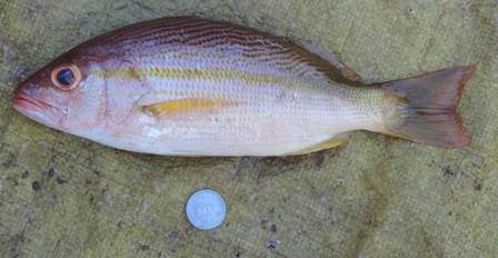 Brownstripe red snapper, (Lutjanus vitta)