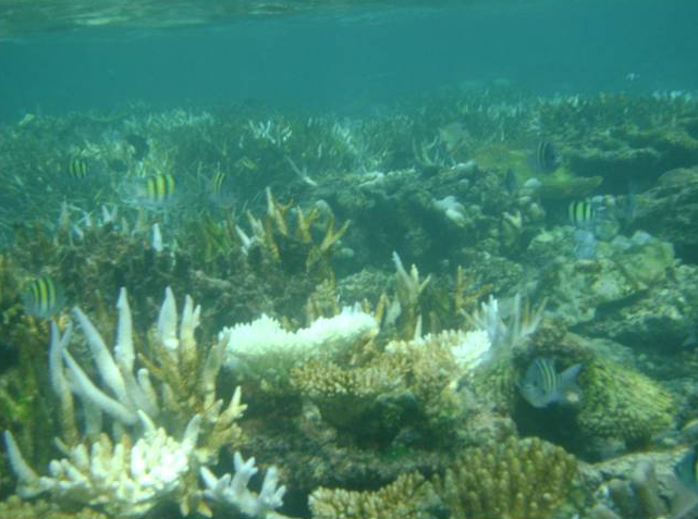 A view of bleached corals in about 2m depth of Agatti lagoon