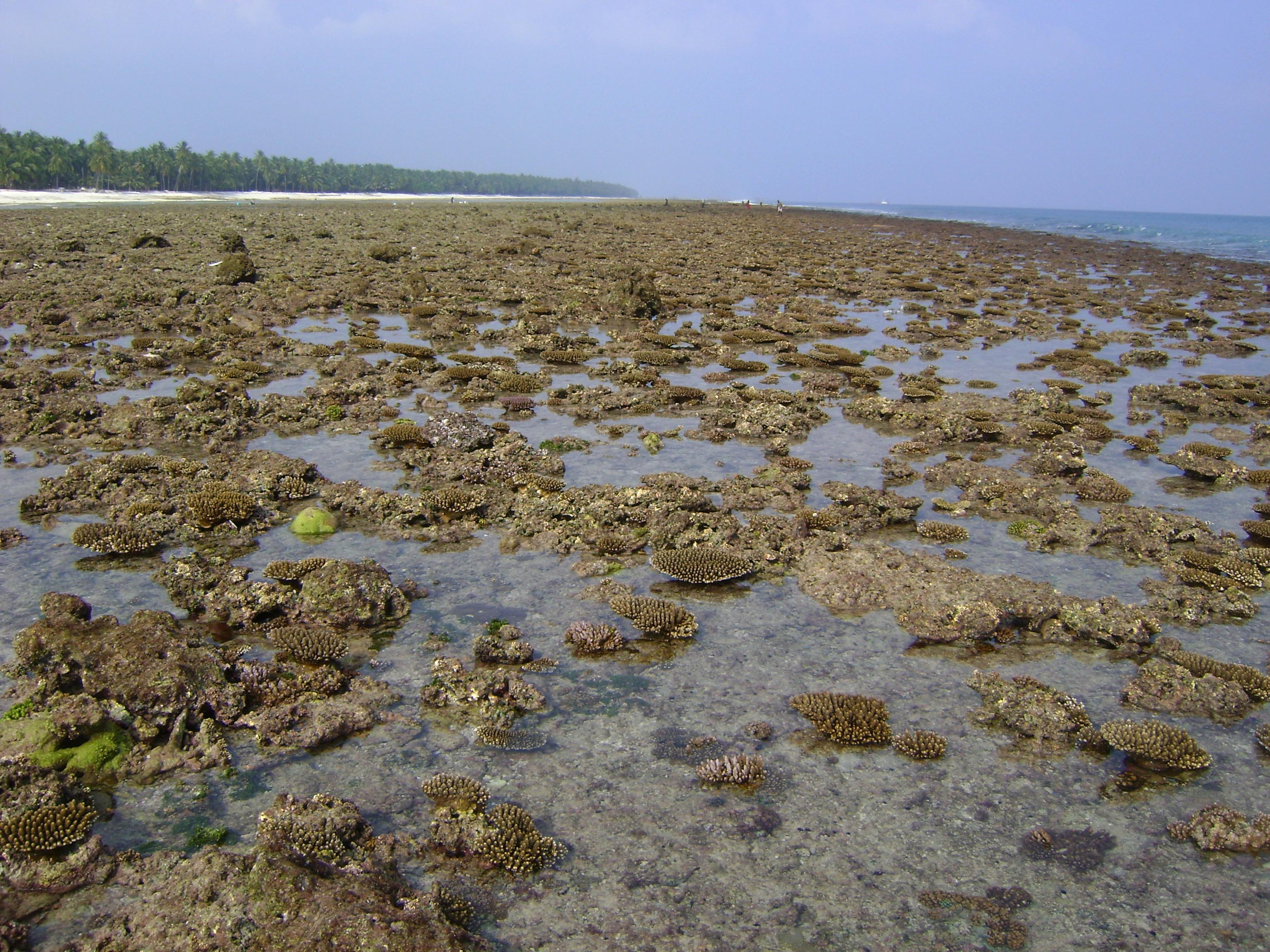 Exposed corals of Acropora spp. lying scattered during low tide in Agatti island