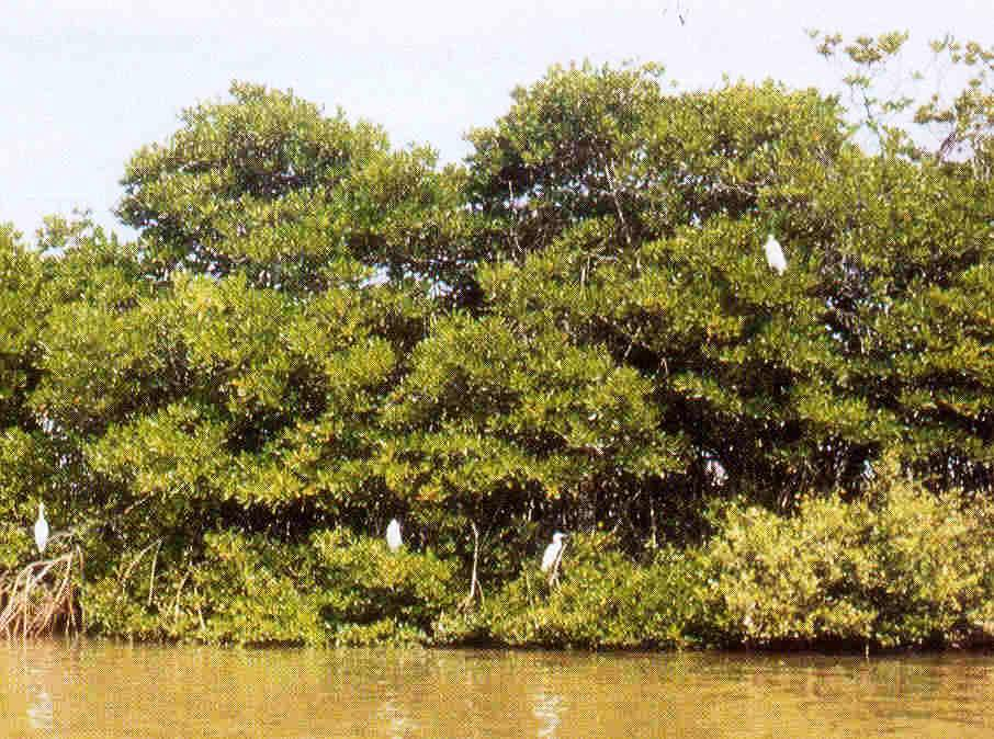 Mangroves the home away from home for migratory birds