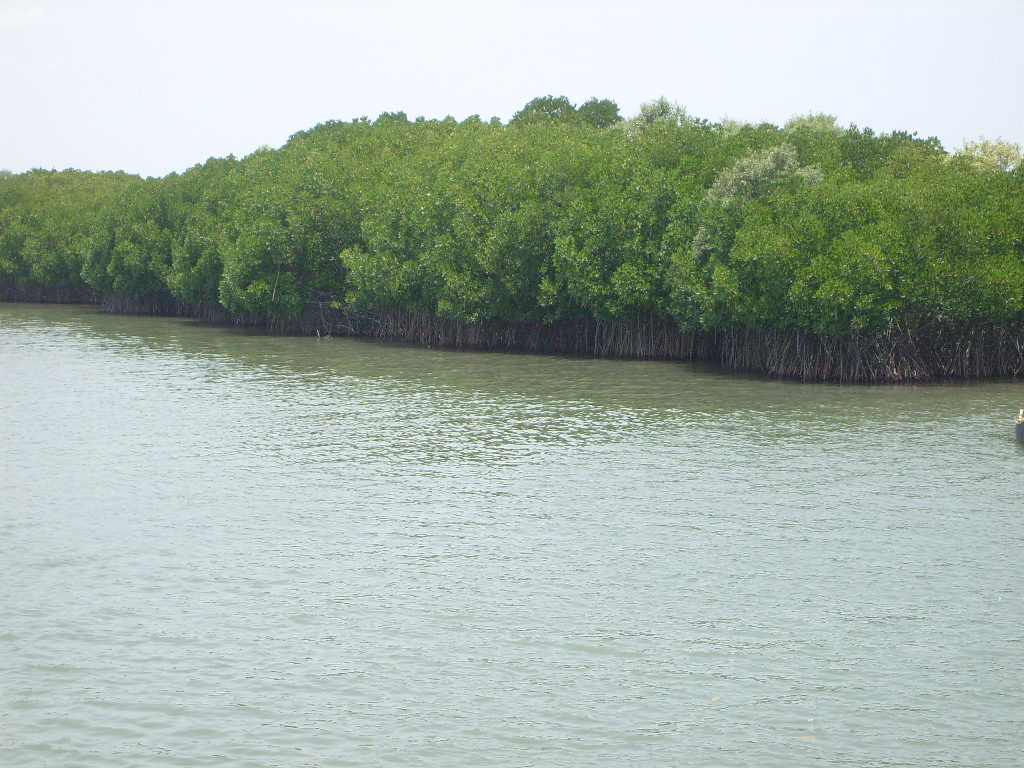 Planted mangroves on the northern bank of Vellar estuary, Tamil Nadu
