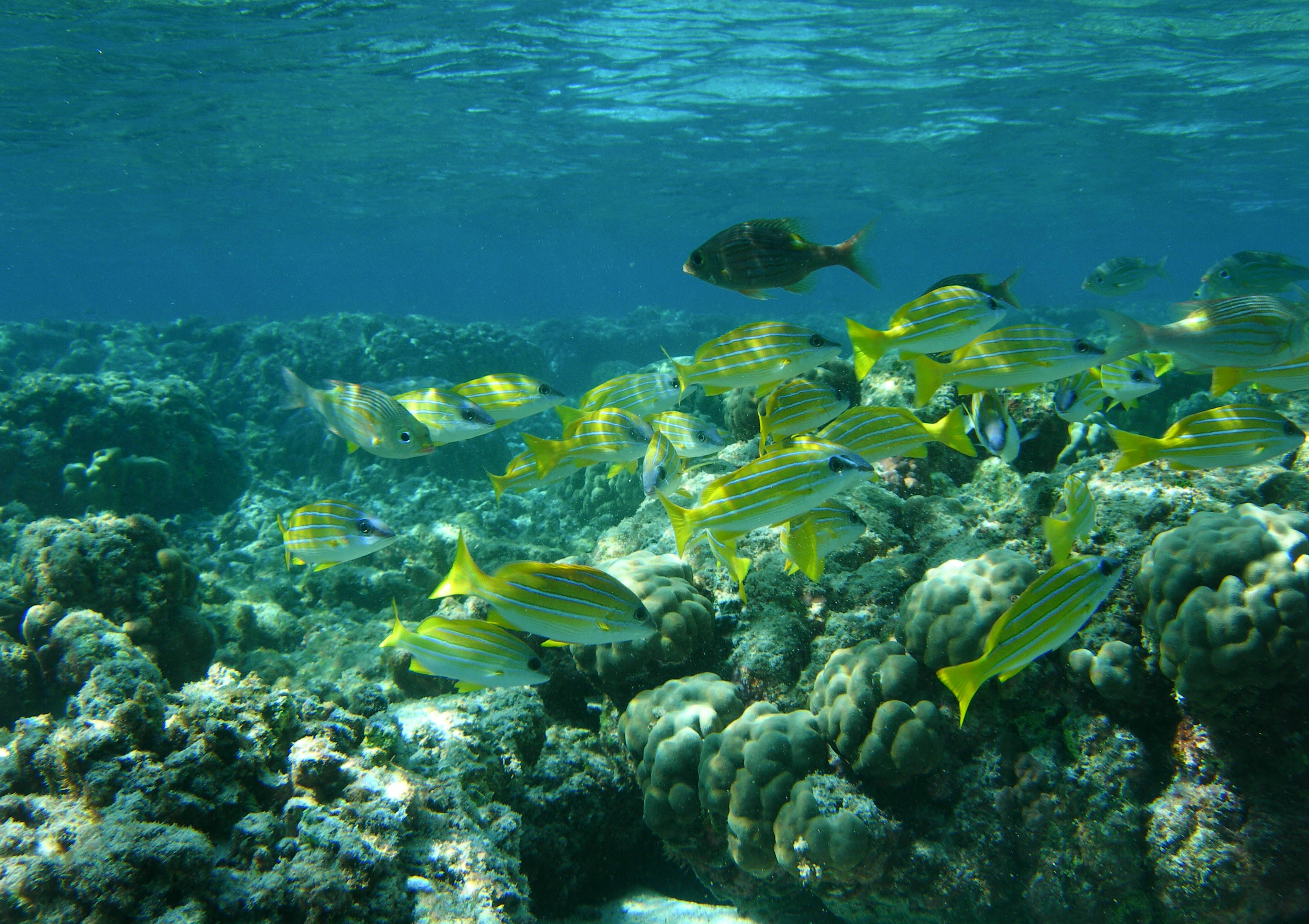 School of yellow stripe snapper Lutjanus kasmira in the waters of Agatti Island, Lakshadweep