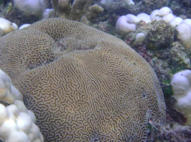 Underwater view of coral Platygyra sp. in Agatti island, Lakshadweep (May, 2010)