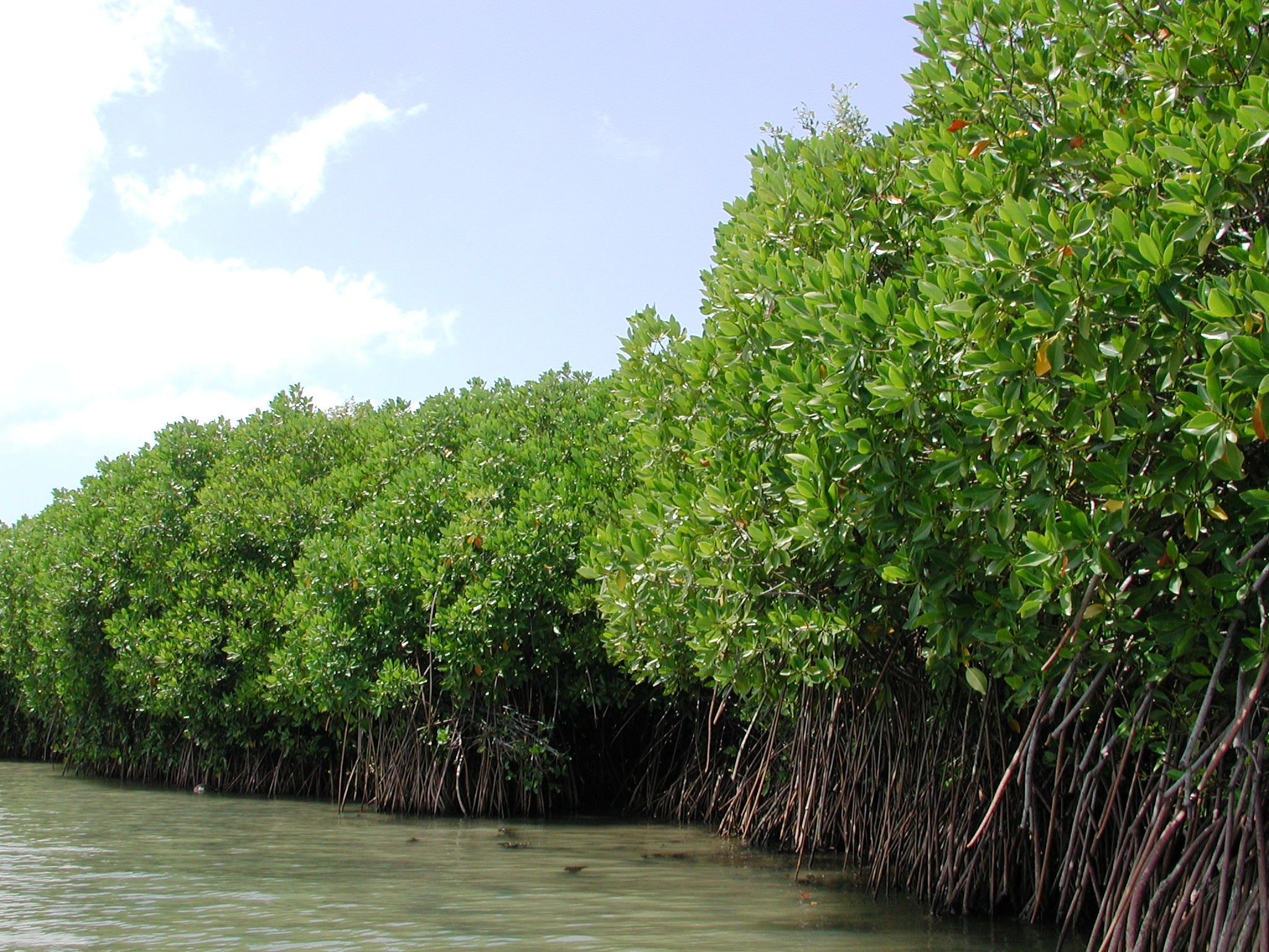 mangrove forests Mangrove and the mangrove forest of which it is a part the fluccs codes for mangroves include: 612 (mangrove swamps) distribution there are approximately 55.